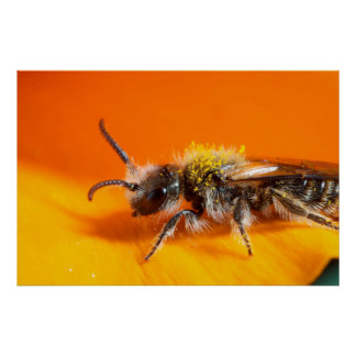 Abeille pollinisant une fleur poster
