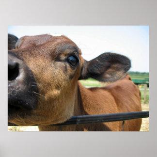 Affiche curieuse de vache