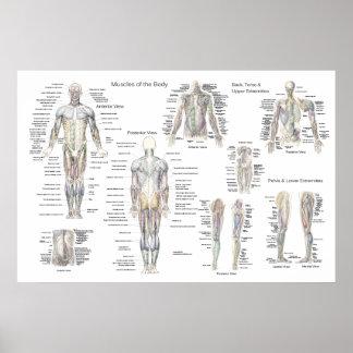 Affiche d'anatomie de muscle - antérieure,