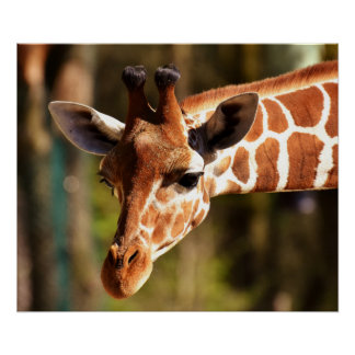 Affiche de girafe - animaux de zoo de faune de poster