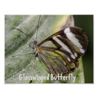 Affiche de Glasswinged Buttefly Poster