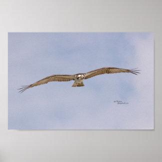 Affiche de vol d'oiseau de balbuzard poster