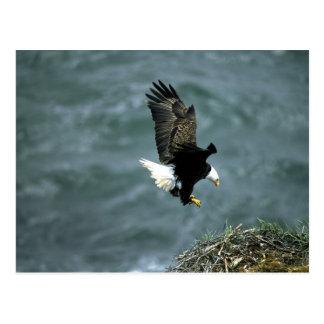 Aigle chauve en vol, archipel de Kodiak, Alaska Carte Postale