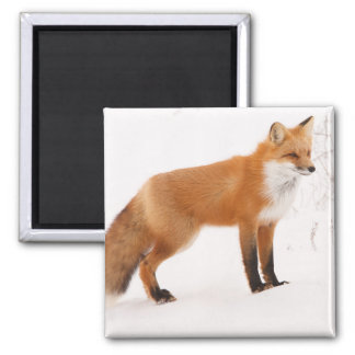 Aimant Faune de nature de Fox rouge