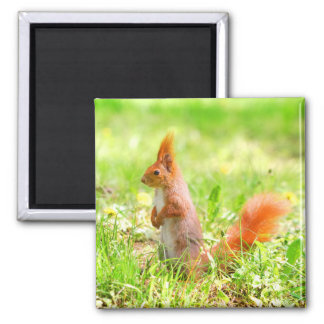 Aimant Faune orange mignonne de nature d'écureuil