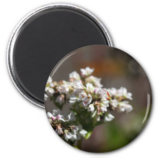 Aimant Fleurs d'un plante de sarrasin (Fagopyrum