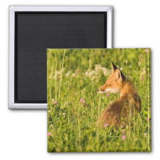Aimant Fox rouge se dorant au soleil