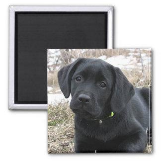 Aimant Labrador noir - chasse tôt à ressort