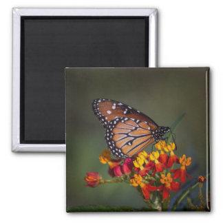 Aimant Papillon de reine sur le milkweed tropical
