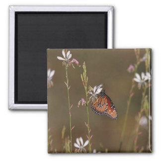 Aimant Reine et milkweed