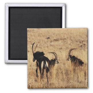 Aimant Repos d'antilopes de sable