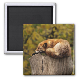 Aimant somnolent de Fox