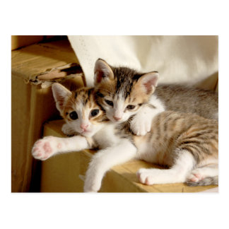 Amis rayés gris blancs de chaton de tigre carte postale