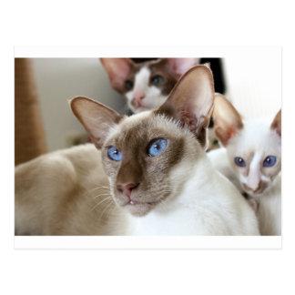 Animaux d'animaux familiers de chats siamois carte postale