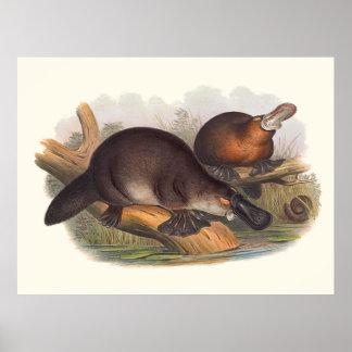 Animaux de l'Australie l'ornithorynque affiché par Poster