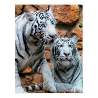 Apprécier des tigres de blanc de Haïfa de paix et Carte Postale