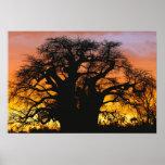 Arbre africain de baobab, digitata d'Adansonia, Posters