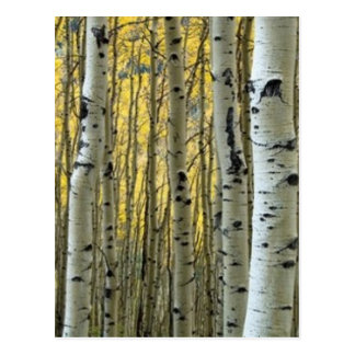 arbres de bouleau carte postale