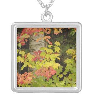 Arbres d'érable d'automne et arbre de bouleau, collier