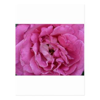 attrayant rosâtre carte postale