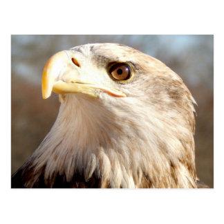 Au sujet d'Eagle chauve Carte Postale