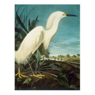 Audubon: Aigrette Briefkaart