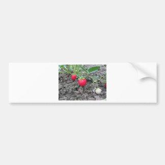 Autocollant De Voiture Plan rapproché des fraises organiques fraîches à