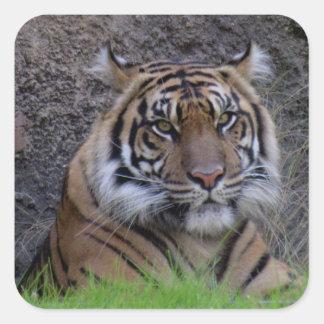 Autocollants de tigre