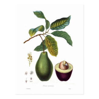 Avocat (Persea americana) Carte Postale