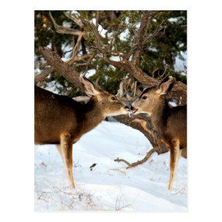 Baisers de deux cerfs communs cartes postales