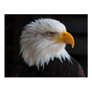 Beau portrait d'aigle chauve carte postale