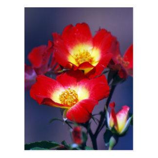 Beaux roses rouges et signification carte postale