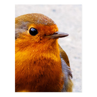 Belle carte postale de Robin