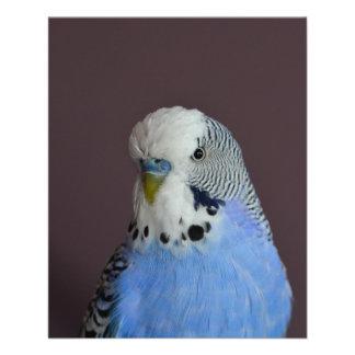 Belle perruche bleue prospectus 11,4 cm x 14,2 cm