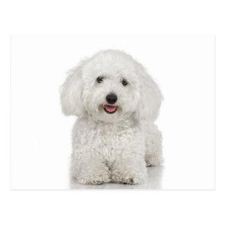 Blanc de chien maltais cartes postales