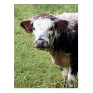 Brown mignon et carte postale blanche de veau