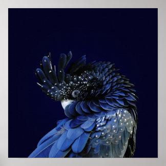Cacatoès noir Rouge-Coupé la queue dans le bleu Poster