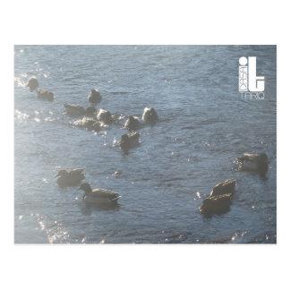 Canards dans l'eau carte postale