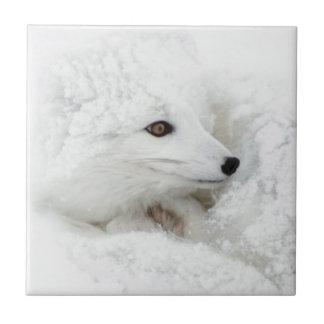 Carreau Fox arctique courbé en hiver