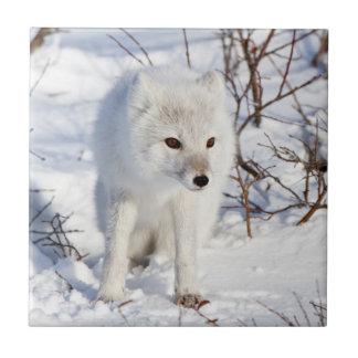 Carreau Fox arctique, région de gestion de faune de