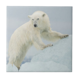 Carreau Ours blanc en été