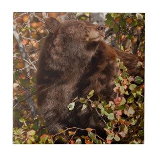 Carreau Ours noir recherchant des baies d'automne