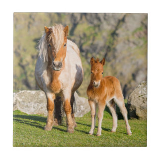 Carreau Poney de Shetland sur le pâturage près de hautes