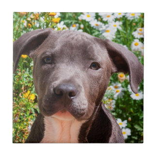 Carreau Portrait de chiot de bull-terrier du Staffordshire