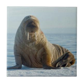 Carreau Repos de morse sur la glace de mer d'été