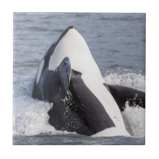 Carreau Violation de baleine d'orque