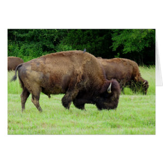 Carte Bison américain