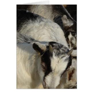 Carte Chèvres, chèvres, et plus de chèvres