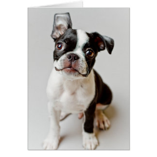 Carte Chiot de chien de Boston Terrier