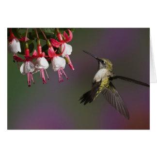 Carte Colibri throated rouge femelle en vol.